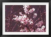 Framed Spring Blossom - Purple