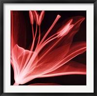 Framed Lilium Radiance