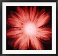 Framed Radiant Gerbera