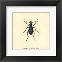 Framed Carabus Cyaneus