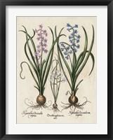 Framed Besler Hyacinth I