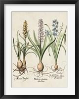 Framed Besler Hyacinth II