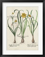 Framed Besler Narcissus I