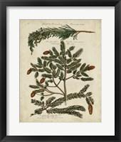 Framed Antique Conifers IV