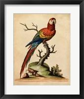 Framed Edwards Parrots I