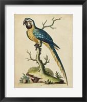 Framed Edwards Parrots II