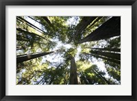 Framed Redwoods