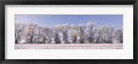 Framed Cottonwood trees covered with snow, Lower Klamath Lake, Siskiyou County, California, USA