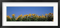 Framed Sunflowers in a field, Marion County, Illinois, USA (Helianthus annuus)