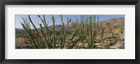 Framed Ocotillo Anza Borrego Desert State Park CA