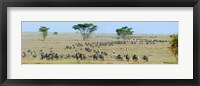 Framed Herd of wildebeest and zebras in a field, Ngorongoro Conservation Area, Arusha Region, Tanzania
