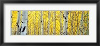 Framed Aspen trees in a forest