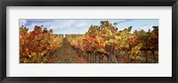 Framed Autumn in a vineyard, Napa Valley, California, USA