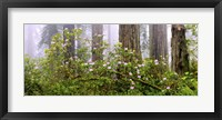 Framed Rhododendron flowers in a forest, Del Norte Coast State Park, Redwood National Park, Humboldt County, California, USA