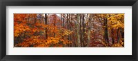 Framed Autumn trees in Great Smoky Mountains National Park, North Carolina, USA