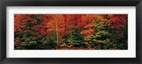 Framed Fall Maple Trees