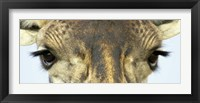 Framed Close-up of a Maasai giraffes eyes