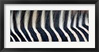 Framed Close-up of a Greveys zebra stripes and mane