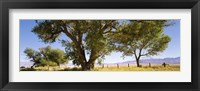 Framed Cottonwood trees in a field, Owens Valley, California, USA