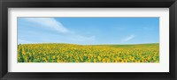 Framed Field of sunflower with blue sky