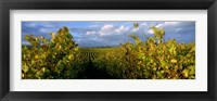 Framed Low angle view of vineyard and windmill, Napa Valley, California, USA
