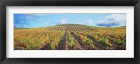Framed Vineyard, Napa Valley, California, USA