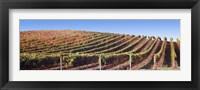 Framed Rows of vines on a hill, Napa Valley, California, USA