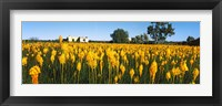 Framed Bulbinella nutans flowers in a field, Northern Cape Province, South Africa