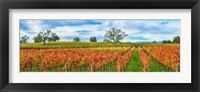Framed Autumn color vineyards, Guerneville Road, Sonoma County, California, USA