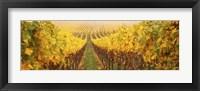 Framed Vine crop in a vineyard, Riquewihr, Alsace, France