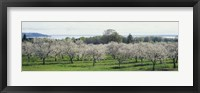 Framed Cherry trees in an orchard, Mission Peninsula, Traverse City, Michigan, USA