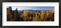 Framed Cottonwood trees in a forest, Mt Hood, Hood River, Mt. Hood National Forest, Oregon, USA