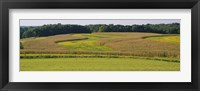 Framed Field Of Corn Crops, Baltimore, Maryland, USA