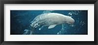 Framed Close-up of a Beluga whale in an aquarium, Shedd Aquarium, Chicago, Illinois, USA
