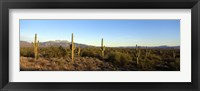 Framed Saguaro cacti in a desert, Four Peaks, Phoenix, Maricopa County, Arizona, USA