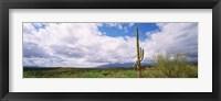 Framed Cactus in a desert, Saguaro National Monument, Tucson, Arizona, USA