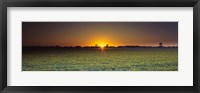 Framed Field of Safflower at dusk, Sacramento, California, USA