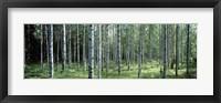 Framed White Birches Aulanko National Park Finland
