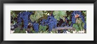 Framed USA, California, Napa Valley, grapes