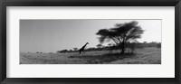 Framed Giraffe On The Plains, Kenya, Africa