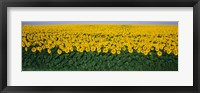 Framed Sunflower Field, Maryland, USA