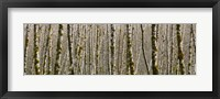 Framed Trees in the forest, Red Alder Tree, Olympic National Park, Washington State, USA