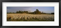 Framed Cotton plants in a field, North Carolina, USA