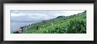 Framed Vineyard on a hillside in front of a lake, Lake Geneva, Rivaz, Vaud, Switzerland