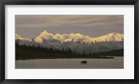 Framed Moose standing on a frozen lake, Wonder Lake, Denali National Park, Alaska, USA