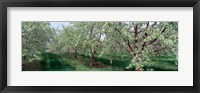 Framed View of spring blossoms on cherry trees