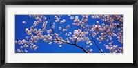 Framed Cherry Blossoms Washington DC