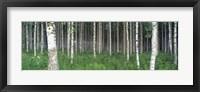 Framed Birch Forest, Punkaharju, Finland