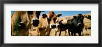 Framed Close Up Of Cows, California, USA