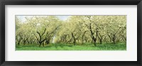 Framed Rows Of Cherry Tress In An Orchard, Minnesota, USA